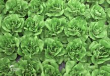 Agrosaveti - Rasađivanje jesenje zelene salate 01