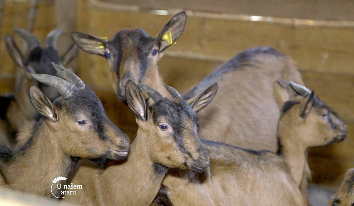 Agrosaveti - Uzgoj alpino koza na Staroj planini 03