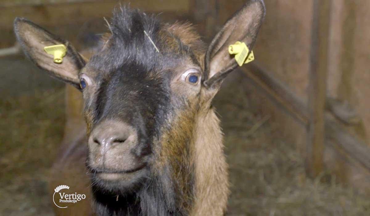 Agrosaveti - Uzgoj alpino koza na Staroj planini 06