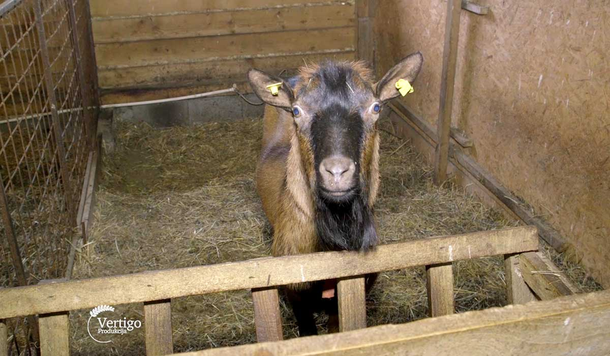 Agrosaveti - Uzgoj alpino koza na Staroj planini 07