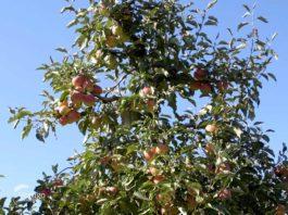 Agrosaveti - Uzgoj jabuka u Vršcu 05