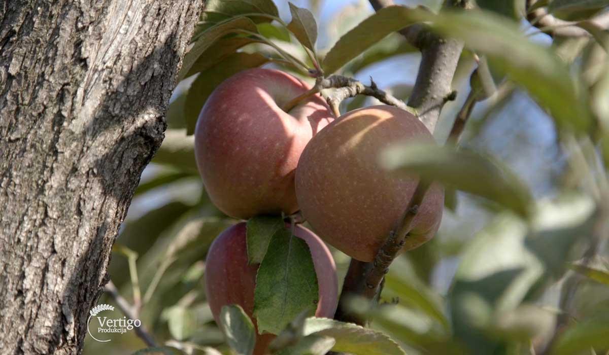 Agrosaveti - Uzgoj jabuka u selu Zaklopača 03
