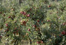 Agrosaveti - Uzgoj jabuka u selu Zaklopača 06