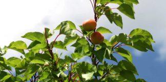 Agrosaveti - Uzgoj kajsija u selu Zaklopača 04