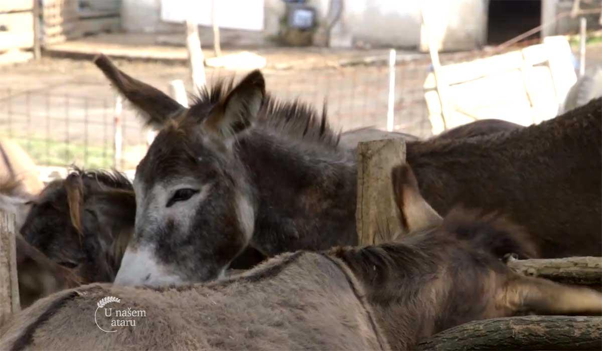Agrosaveti - Uzgoj magaraca 01