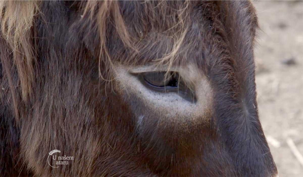 Agrosaveti - Uzgoj magaraca 04