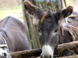 Agrosaveti - Uzgoj magaraca 05
