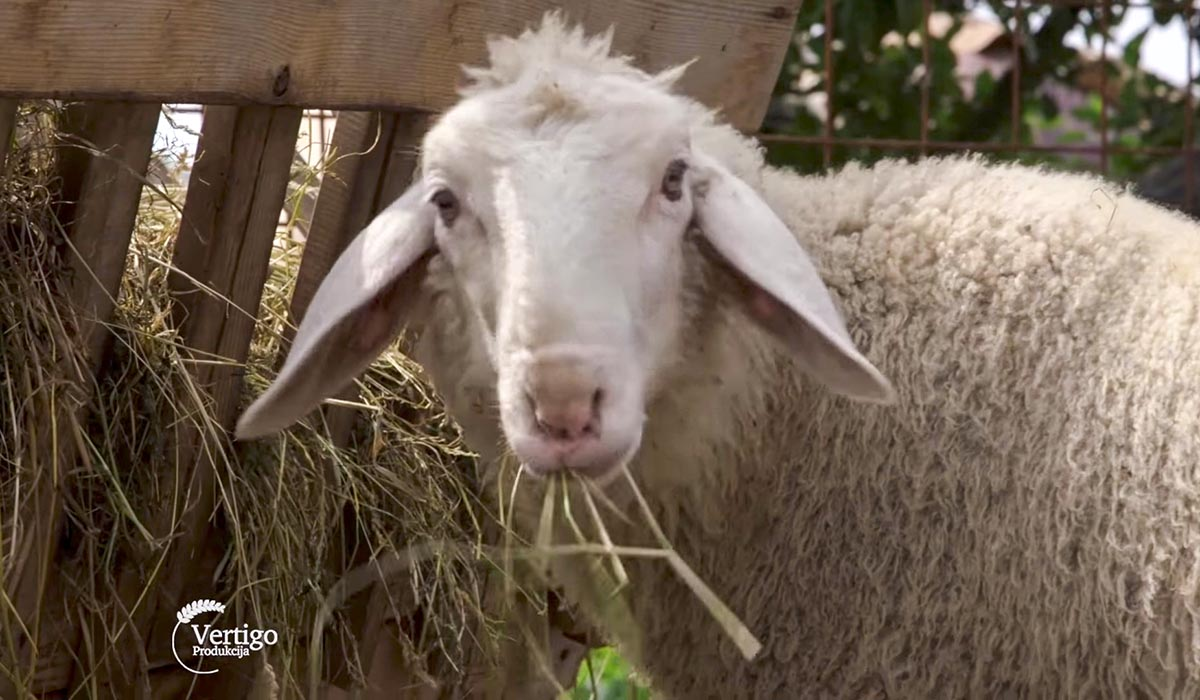 Agrosaveti - Uzgoj ovaca virtemberg 01