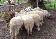 Agrosaveti - Uzgoj ovaca virtemberg 05