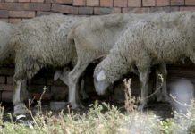 Agrosaveti - Uzgoj virtemberg ovaca u Melencima 05