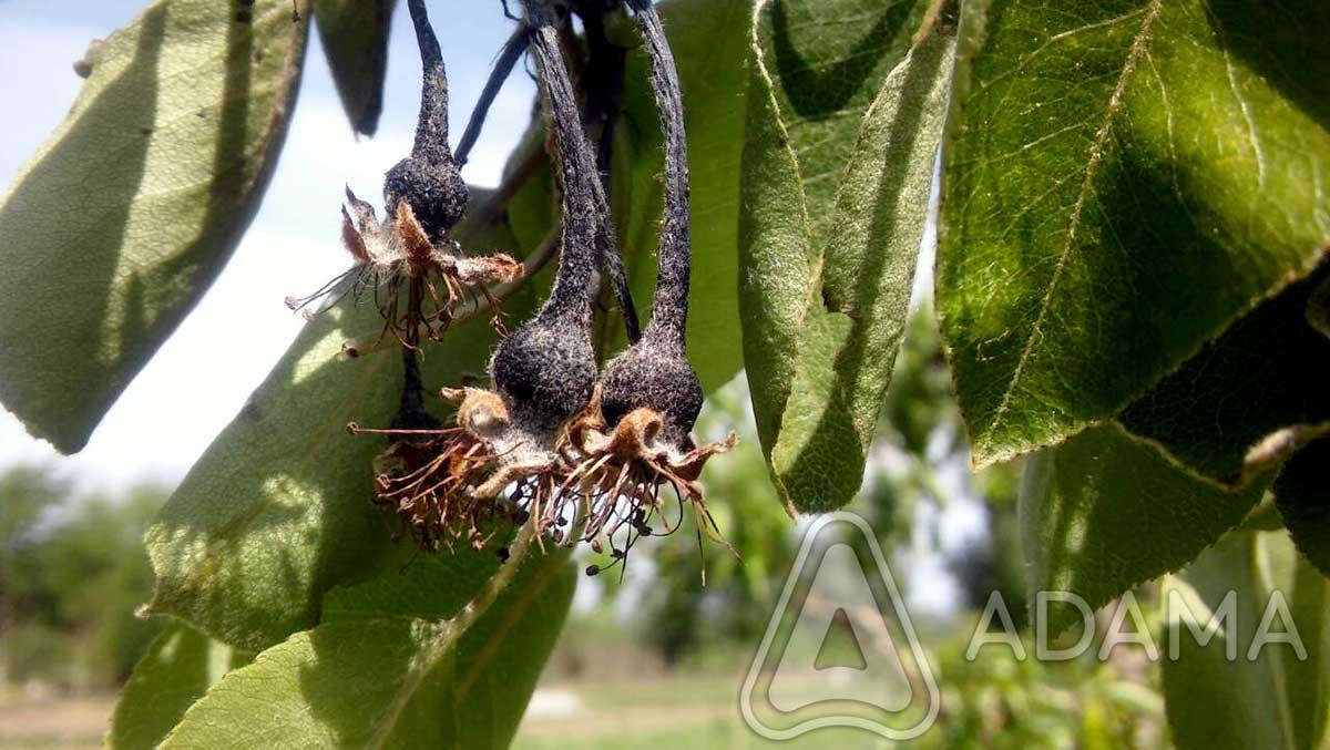 Agrosaveti---Adama---Erwinia-plod---Jesenje-plavo-prskanje