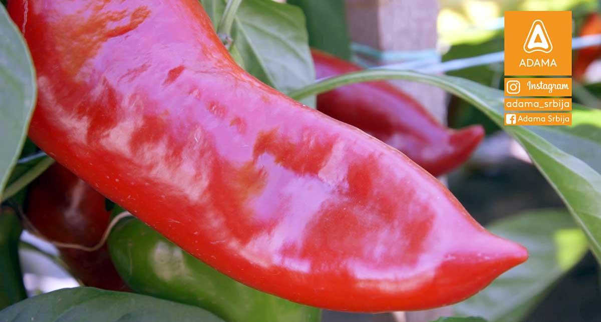 Agrosaveti---Adama---Paprika---Zacinska-paprika-03