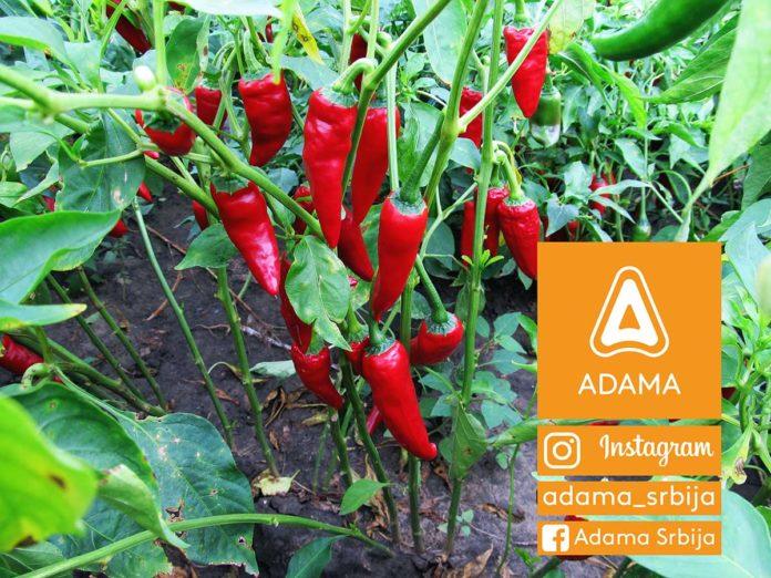 Agrosaveti---Adama---Paprika---Zacinska-paprika