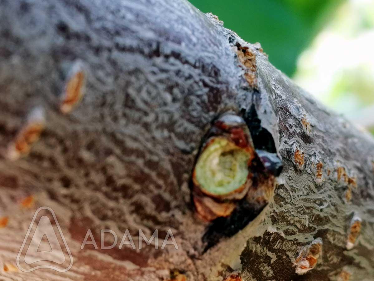 Agrosaveti---Adama---Svez-oziljak--Erwinia---Jesenje-plavo-prskanje-02