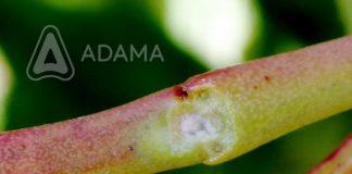 Agrosaveti---Adama---Svez-oziljak--Erwinia---Jesenje-plavo-prskanje