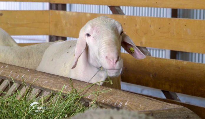 Agrosaveti - Farma ovaca Donić iz Velike Plane 01
