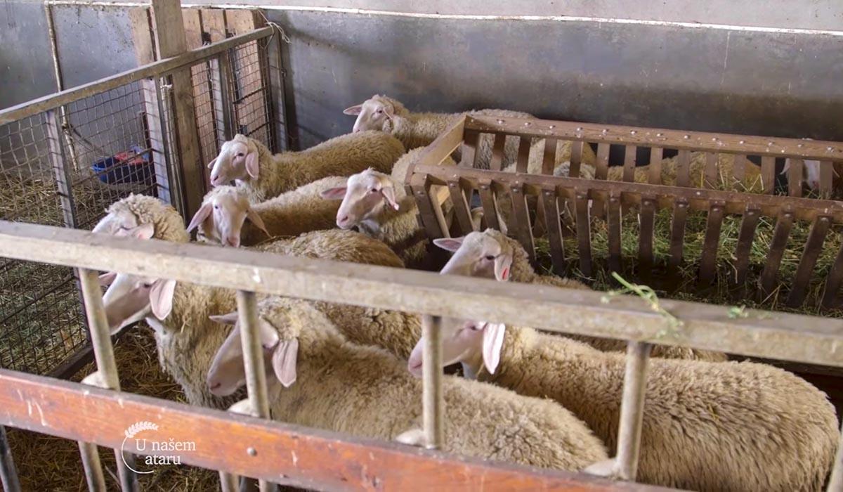 Agrosaveti - Farma ovaca Donić iz Velike Plane 06