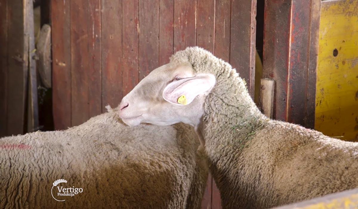 Agrosaveti - Farma ovaca Donić iz Velike Plane 09