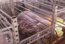 Agrosaveti - Farma svinja Donje Livadice 01