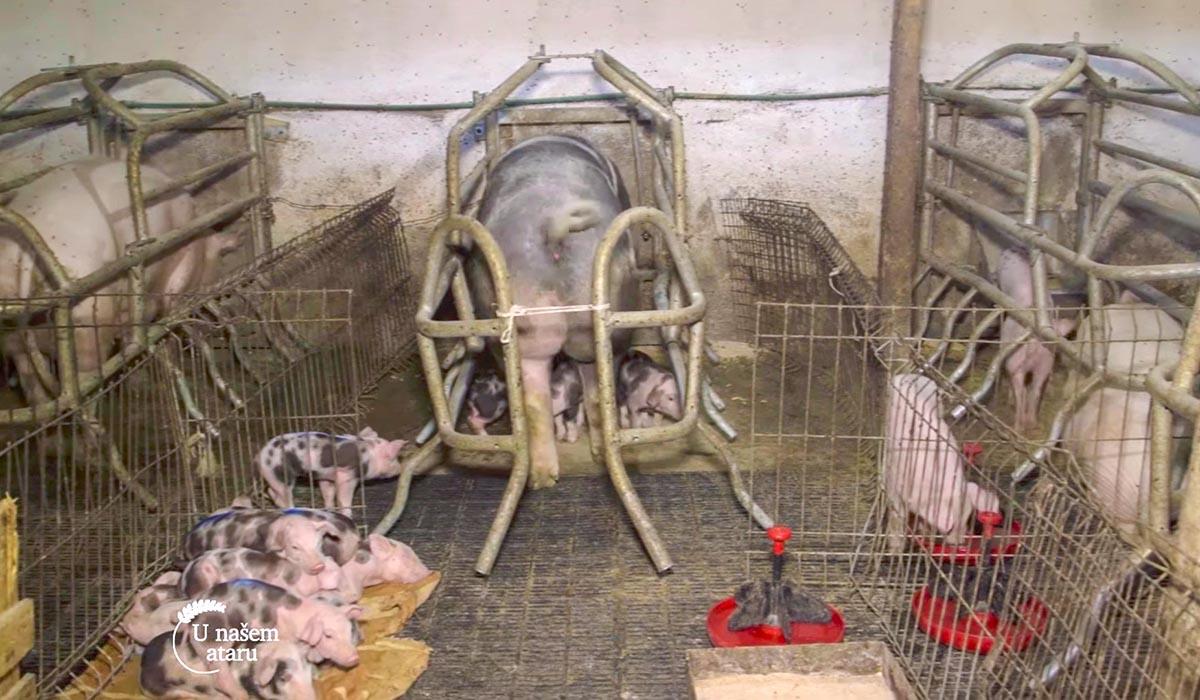Agrosaveti - Farma svinja u selu Lucica 02