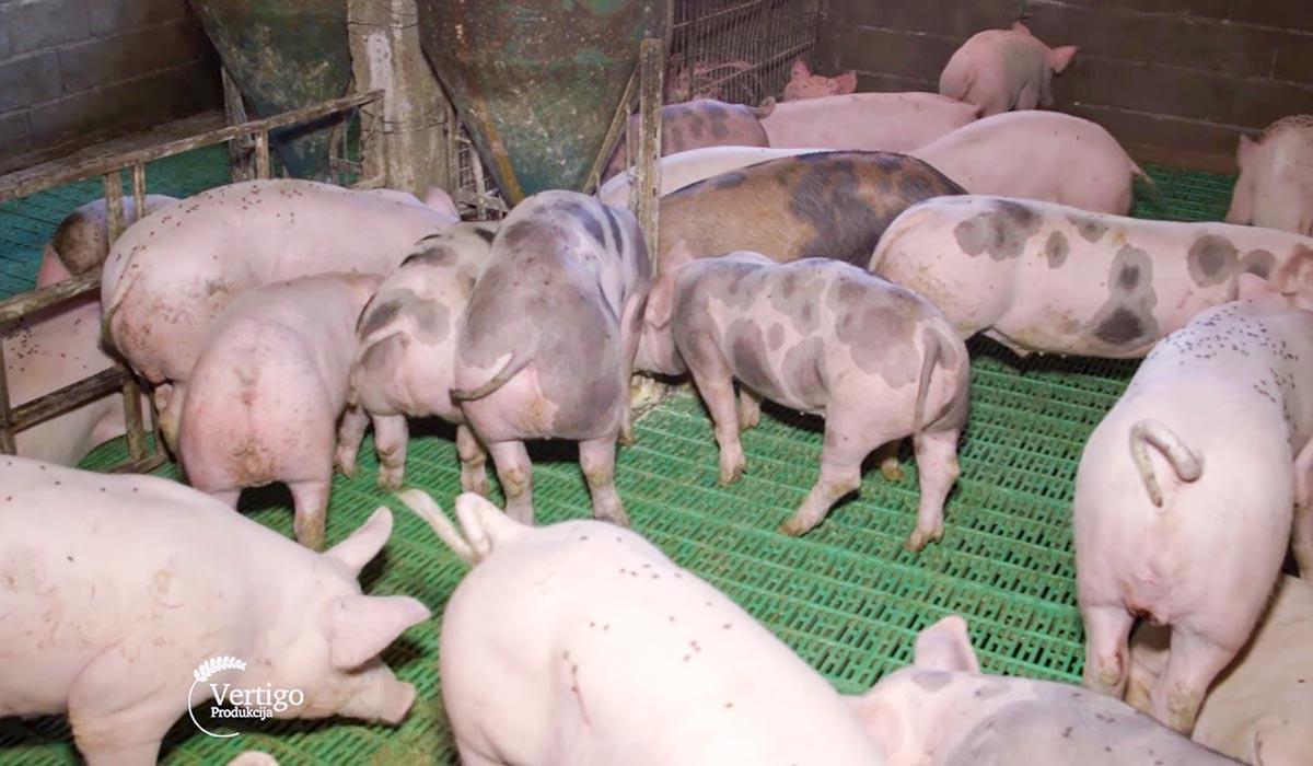 Agrosaveti - Farma svinja u selu Lucica 04