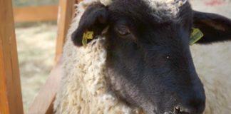 Agrosaveti - Nemačka crnoglava ovca 02