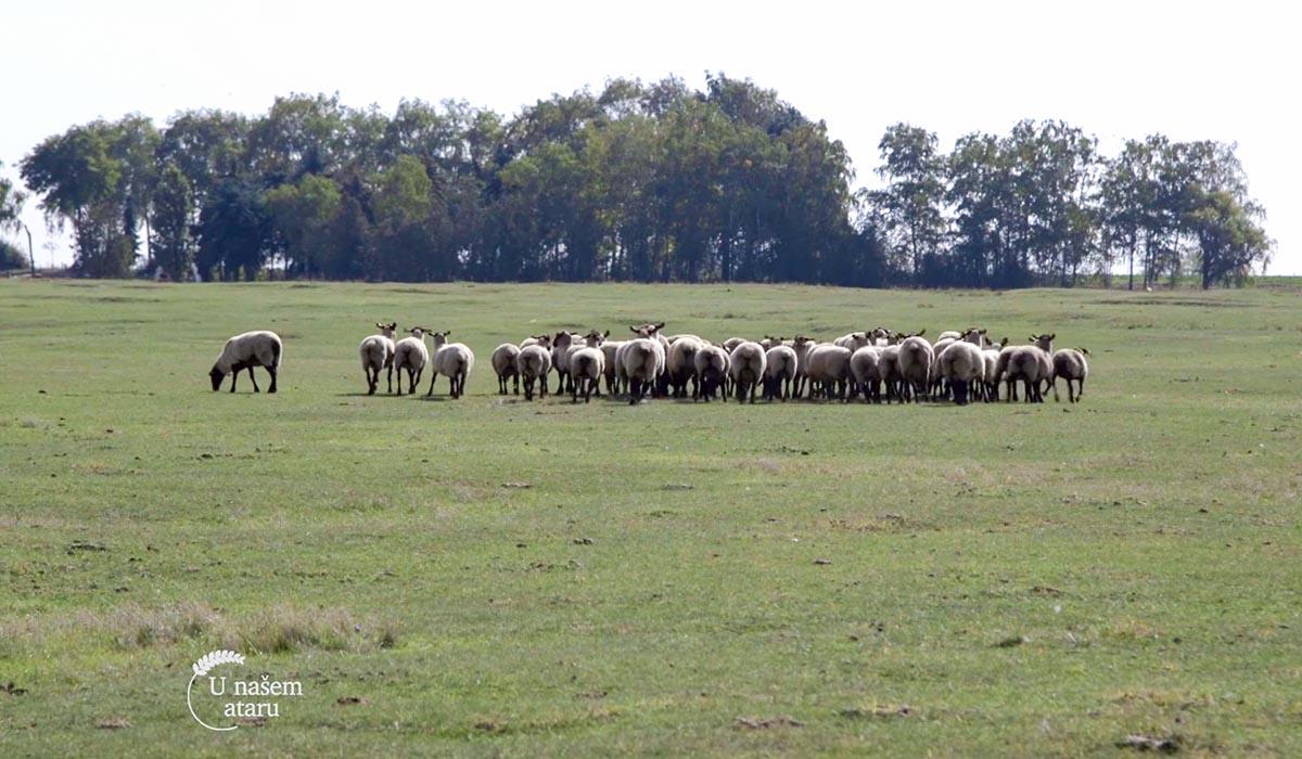 Agrosaveti - Nemačka crnoglava ovca 05