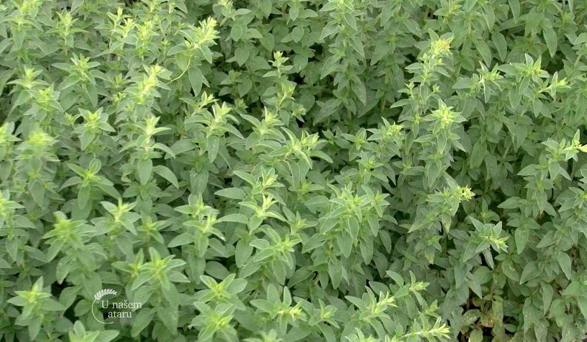 Agrosaveti - Organska proizvodnja malina 03