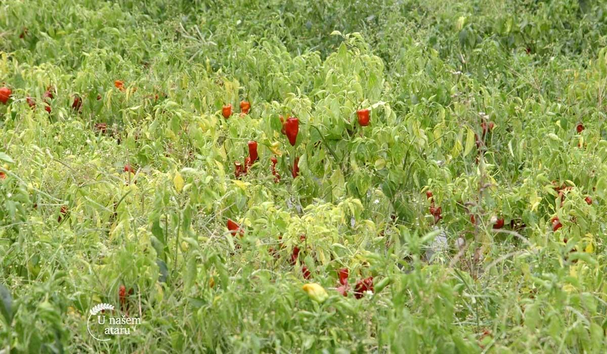 Agrosaveti - Organska proizvodnja u Pivnicama 02