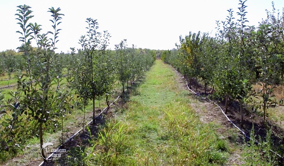 Agrosaveti - Plantaža krušaka u Vršcu 03