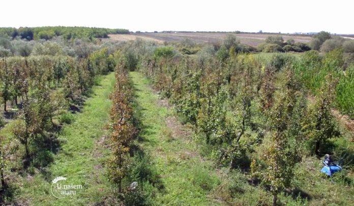 Agrosaveti - Plantaža krušaka u Vršcu 05