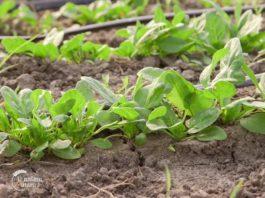 Agrosaveti - Proizvodnja blitve i spanaća u plastenicima 01