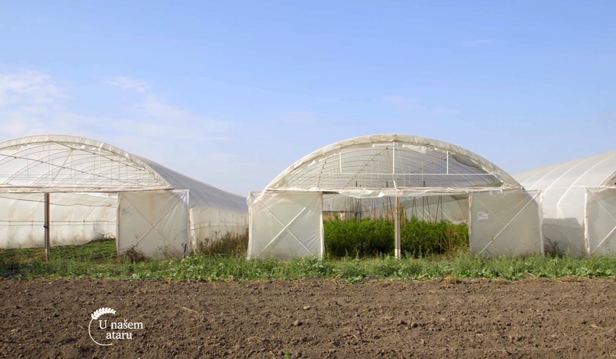 Agrosaveti - Proizvodnja blitve i spanaća u plastenicima 04