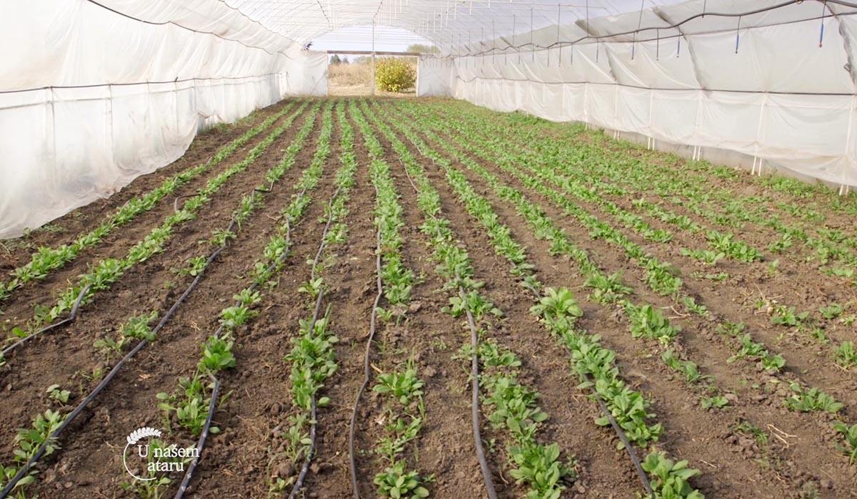 Agrosaveti - Proizvodnja blitve i spanaća u plastenicima 05