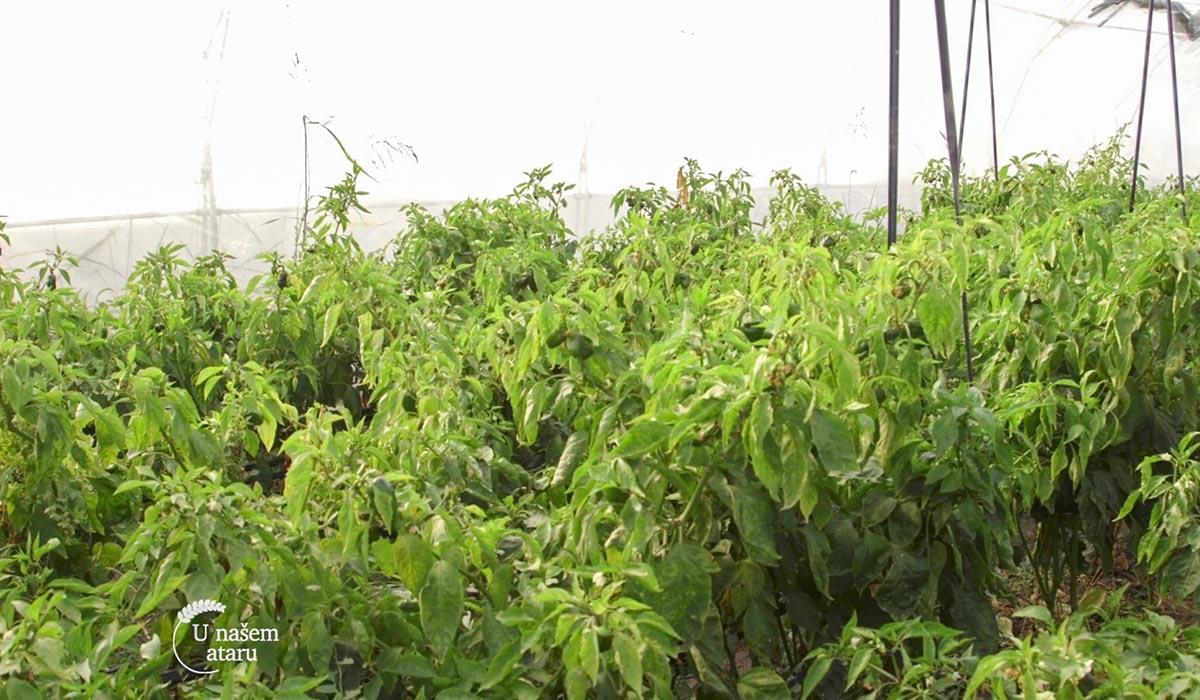 Agrosaveti - Proizvodnja blitve i spanaća u plastenicima 06