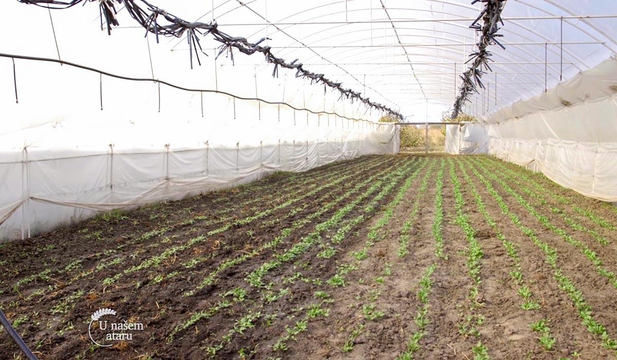 Agrosaveti - Proizvodnja blitve i spanaća u plastenicima 10