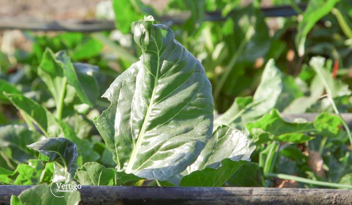 Agrosaveti - Proizvodnja blitve i spanaća u plastenicima 11