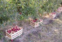 Agrosaveti - Proizvodnja jabuka u selu Dubona 01