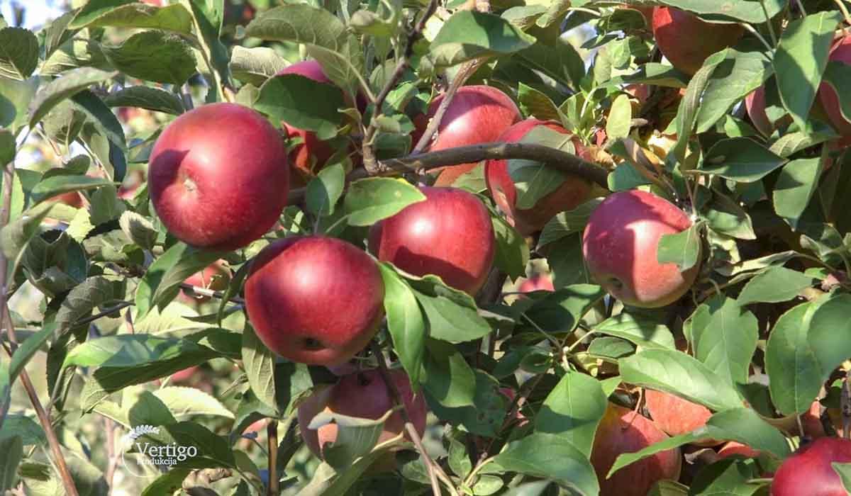 Agrosaveti - Proizvodnja jabuka u selu Dubona 02