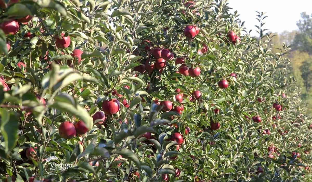Agrosaveti - Proizvodnja jabuka u selu Dubona 03
