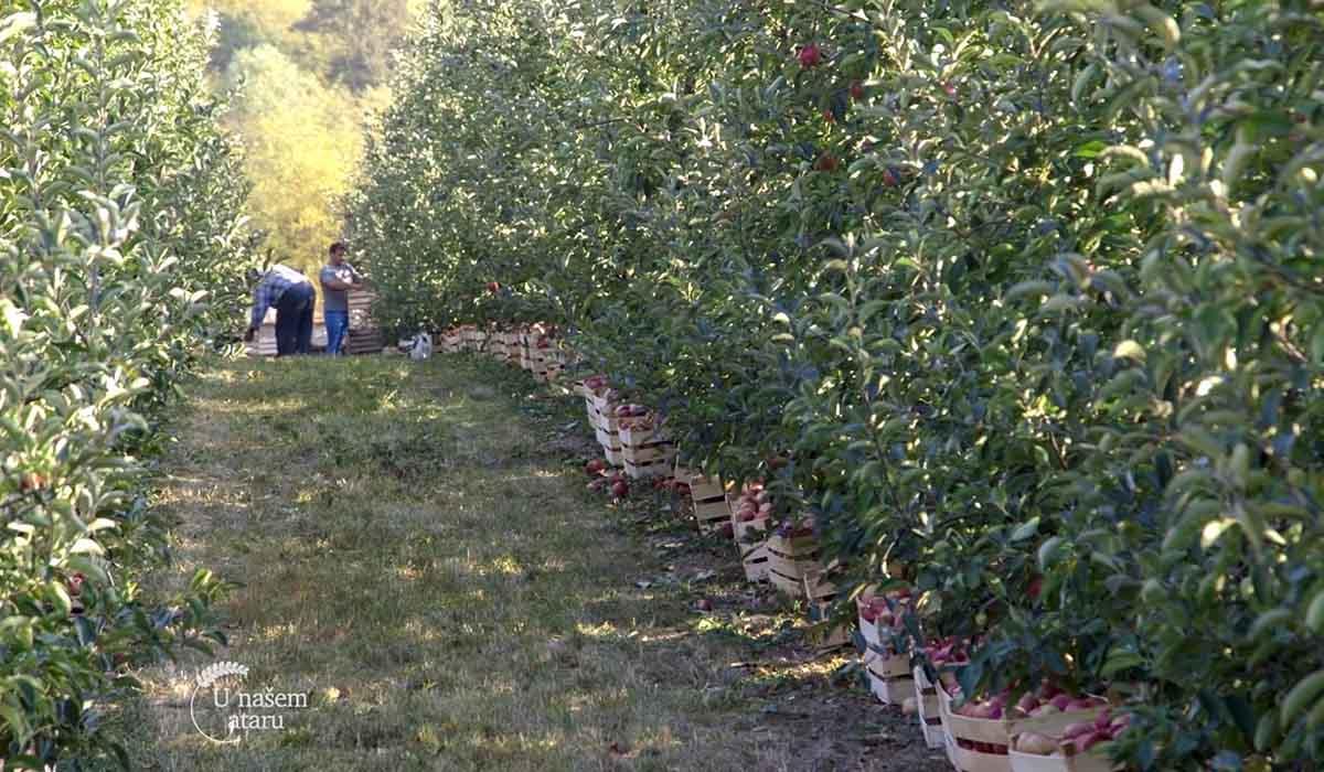 Agrosaveti - Proizvodnja jabuka u selu Dubona 04