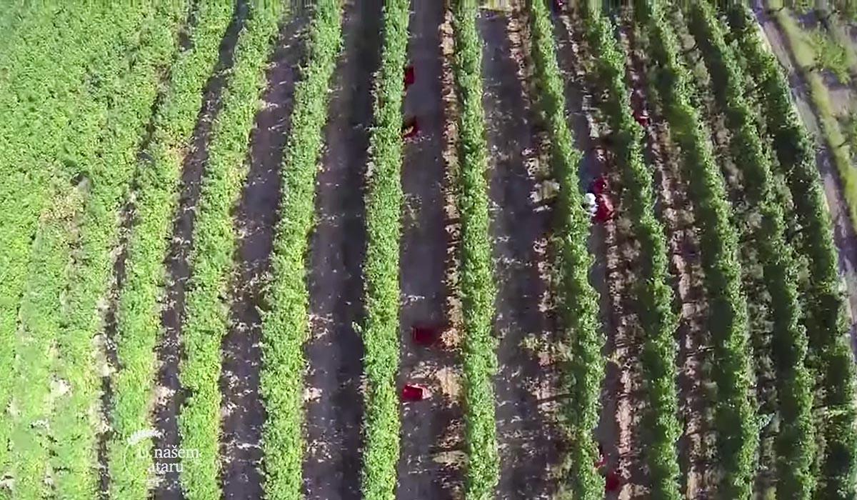 Agrosaveti - Proizvodnja vina u selu Lopušnik 05