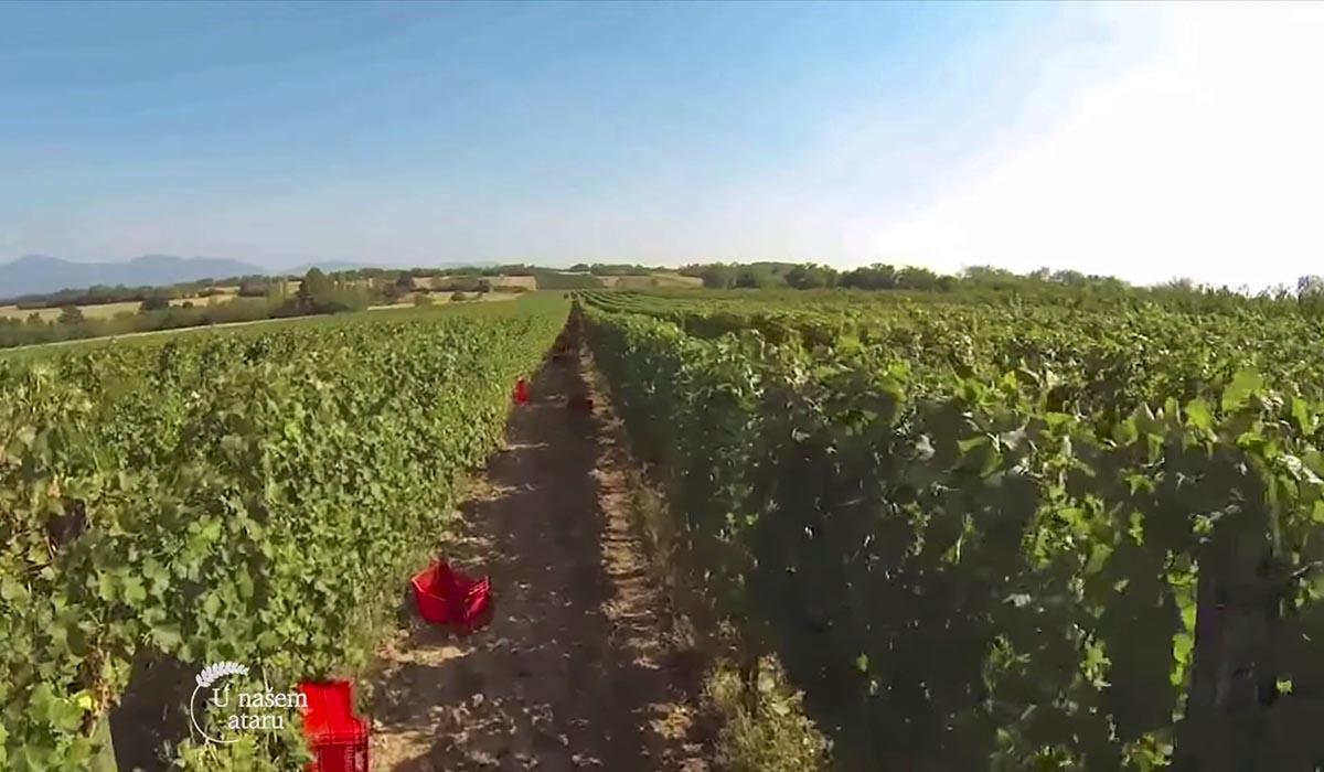 Agrosaveti - Proizvodnja vina u selu Lopušnik 08