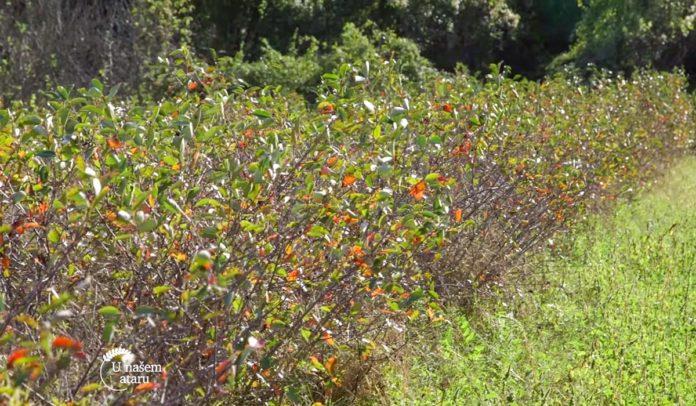 Agrosaveti - Uzgoj aronije na Staroj Planini 04