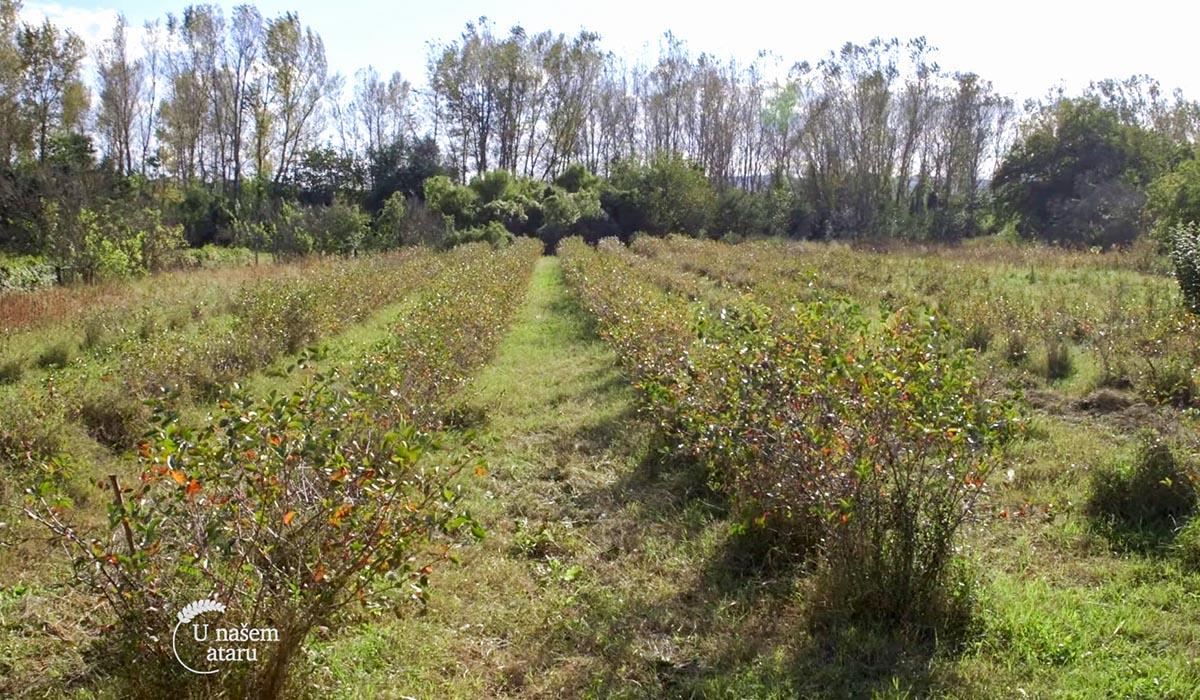 Agrosaveti - Uzgoj aronije na Staroj Planini 06