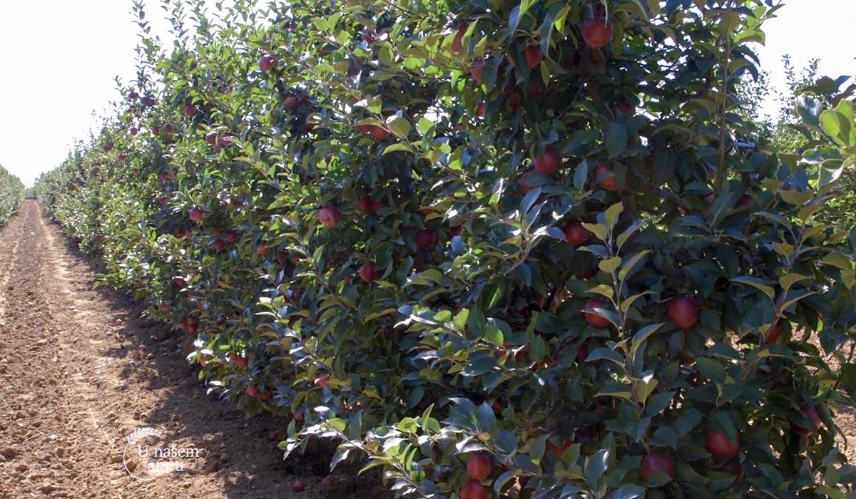 Agrosaveti - Uzgoj jabuka u selu Kamendol 01