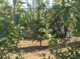Agrosaveti - Uzgoj jabuka u selu Kamendol 02