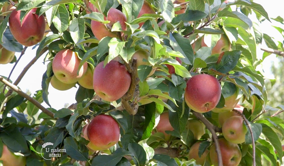 Agrosaveti - Uzgoj jabuka u selu Kamendol 03