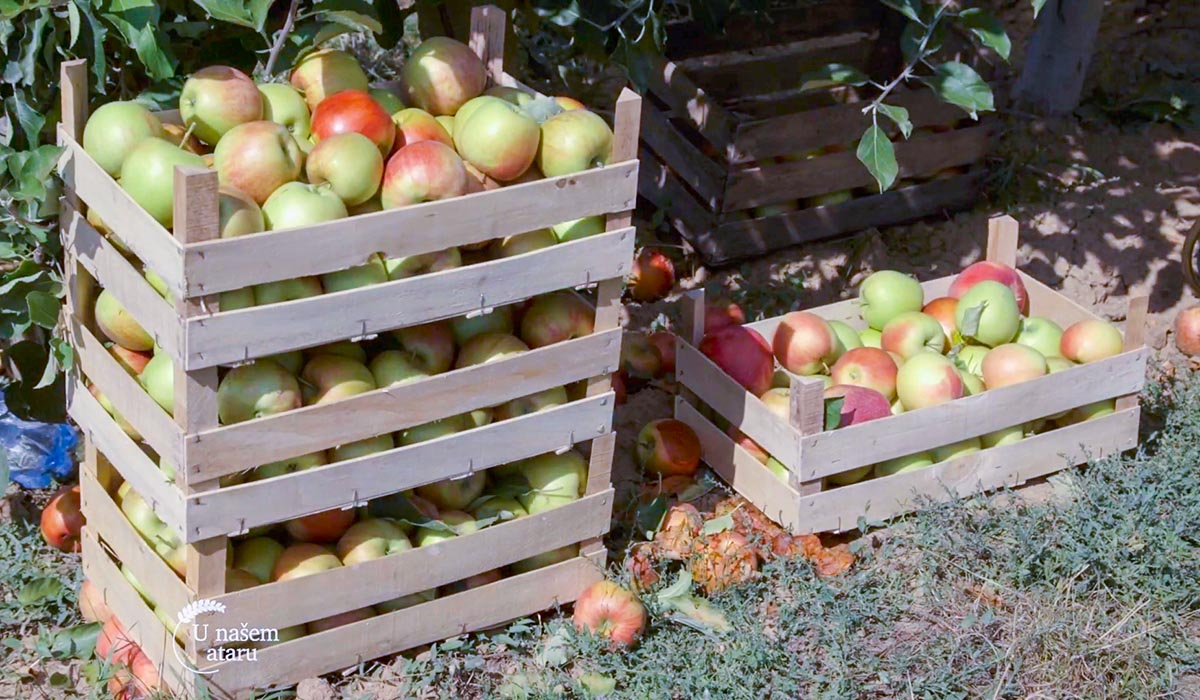 Agrosaveti - Uzgoj jabuka u selu Kamendol 04