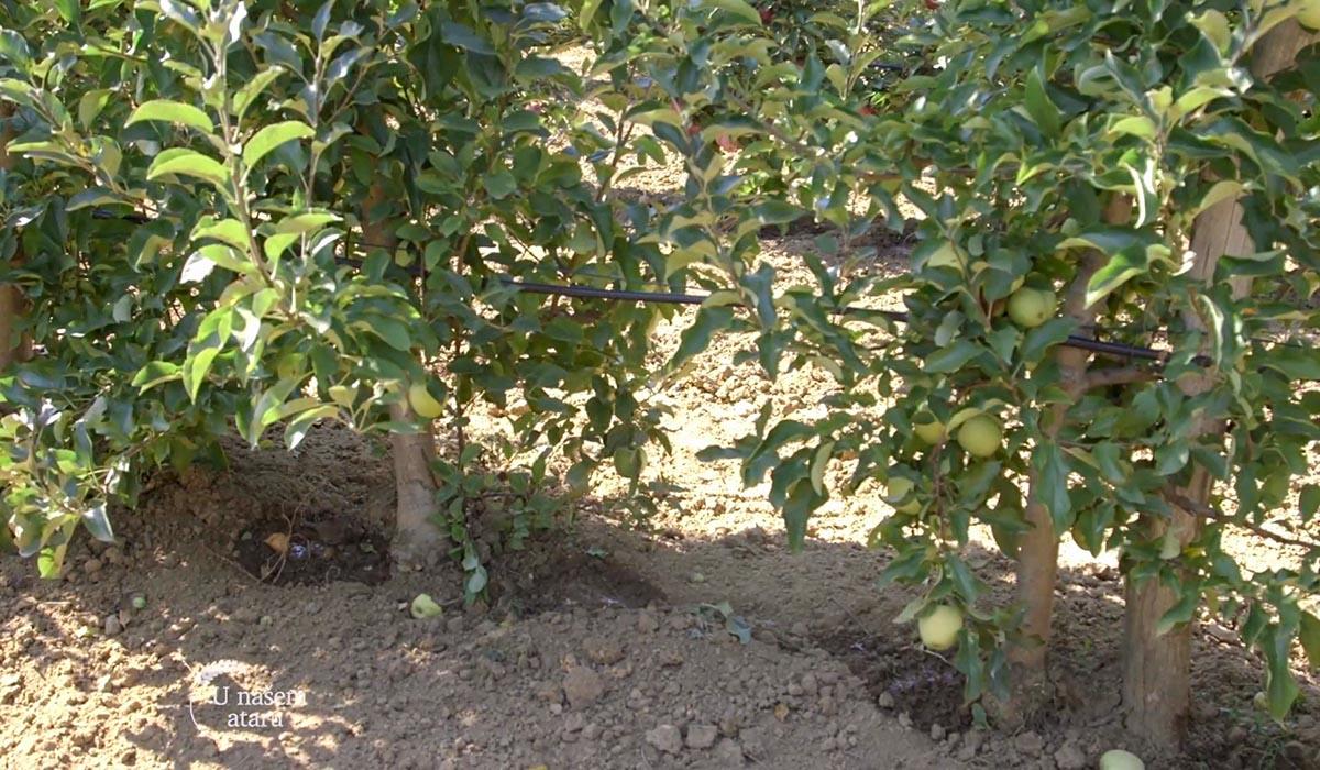 Agrosaveti - Uzgoj jabuka u selu Kamendol 06
